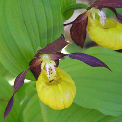 Cypripedium calceolus detail 1(Reg.Pardubice: May 21, 2005)