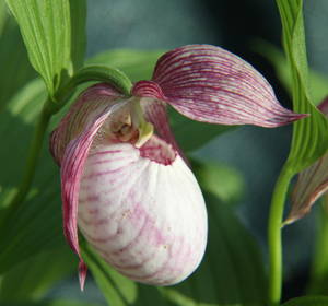 Cypripedium x Sabine detail 1(May 22, 2010)